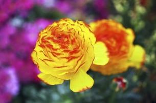 ラナンキュラスの花の写真素材 [FYI04685624]