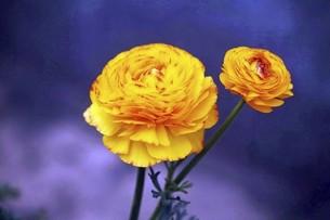 ラナンキュラスの花の写真素材 [FYI04685625]