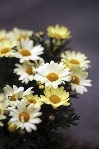 シャスターデージーの白い花の写真素材 [FYI04685626]