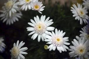 シャスターデージーの白い花の写真素材 [FYI04685627]