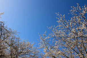 青く澄んだ空と桜の写真素材 [FYI04685674]