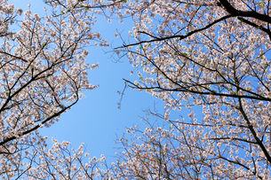 青く澄んだ空と桜の写真素材 [FYI04685725]