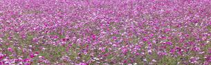 コスモスの花畑の写真素材 [FYI04685734]