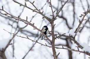 冬の木の枝に止まるシジュウカラの写真素材 [FYI04685743]