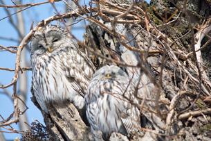 木の上で休む二羽のエゾフクロウの写真素材 [FYI04685750]