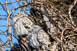 木の上で休む二羽のエゾフクロウの写真素材 [FYI04685757]