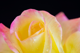 黒背景のピンクと黄色のバラの写真素材 [FYI04685761]
