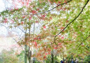 紅葉したモミジの木々の下を歩く人々の写真素材 [FYI04685765]