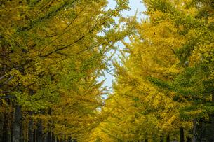 秋の銀杏並木の写真素材 [FYI04685786]