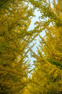 秋の銀杏並木の写真素材 [FYI04685787]
