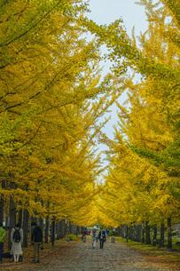 秋の銀杏並木の写真素材 [FYI04685788]