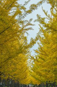 秋の銀杏並木の写真素材 [FYI04685789]