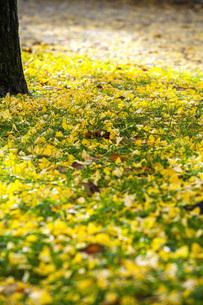 銀杏落ち葉の写真素材 [FYI04685792]