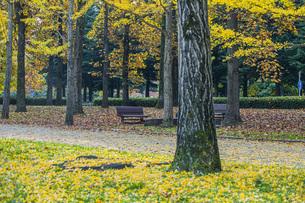 秋の銀杏並木の写真素材 [FYI04685794]