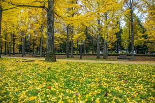 秋の銀杏並木の写真素材 [FYI04685796]