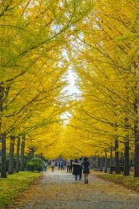 秋の銀杏並木の写真素材 [FYI04685799]
