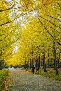 秋の銀杏並木の写真素材 [FYI04685801]