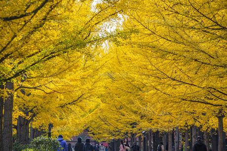 秋の銀杏並木の写真素材 [FYI04685803]
