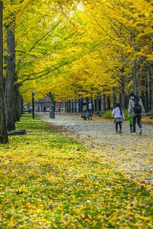 秋の銀杏並木の写真素材 [FYI04685807]