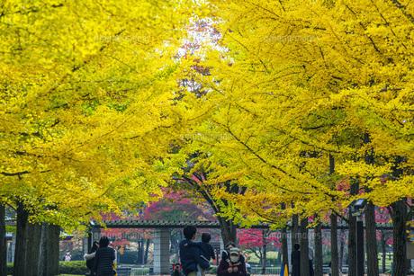 秋の銀杏並木の写真素材 [FYI04685809]