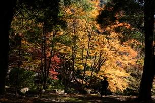渓谷の金色に光る紅葉の写真素材 [FYI04685835]