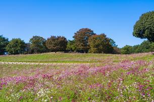 コスモス満開の昭和記念公園・花の丘の写真素材 [FYI04685851]