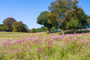 コスモス満開の昭和記念公園・花の丘の写真素材 [FYI04685852]