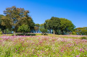 コスモス満開の昭和記念公園・花の丘の写真素材 [FYI04685856]