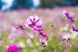コスモス満開の昭和記念公園・花の丘の写真素材 [FYI04685900]