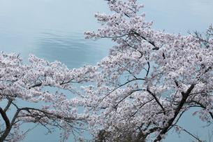 奥多摩湖の桜の写真素材 [FYI04685902]