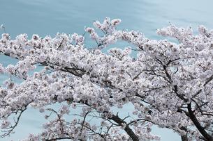 奥多摩湖の桜の写真素材 [FYI04685903]