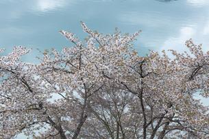 奥多摩湖の桜の写真素材 [FYI04685904]