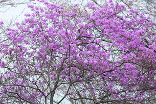 ツツジの花の写真素材 [FYI04685905]