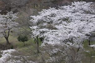 奥多摩湖の桜の写真素材 [FYI04685906]