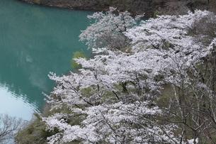 奥多摩湖の桜の写真素材 [FYI04685907]