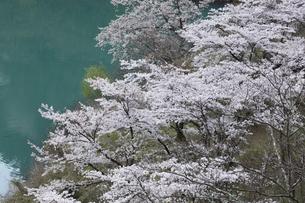 奥多摩湖の桜の写真素材 [FYI04685908]
