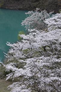 奥多摩湖の桜の写真素材 [FYI04685909]