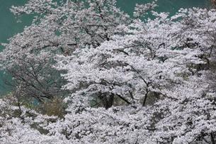 奥多摩湖の桜の写真素材 [FYI04685910]