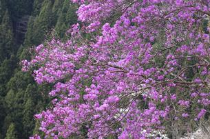 ツツジの花の写真素材 [FYI04685911]