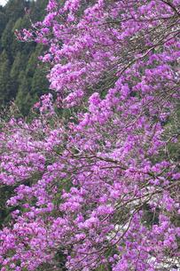 ツツジの花の写真素材 [FYI04685912]