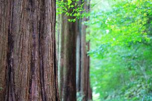 県立相模原公園のメタセコイア並木の写真素材 [FYI04686368]