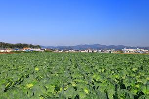神奈川県 三浦半島のキャベツ畑の写真素材 [FYI04686374]