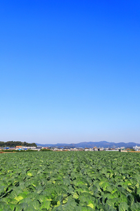 神奈川県 三浦半島のキャベツ畑の写真素材 [FYI04686375]