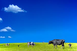 青空背景に緑の草原で草を食む数頭の牛の写真素材 [FYI04689813]