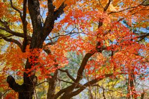 北海道の紅葉の写真素材 [FYI04704104]