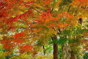北海道の紅葉の写真素材 [FYI04704127]