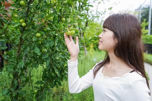果物狩り・収穫の写真素材 [FYI04707335]