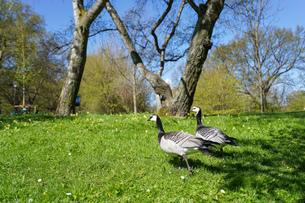 公園にいる野鳥の写真素材 [FYI04709986]