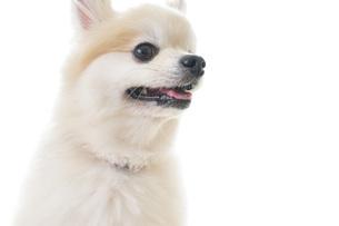 可愛い室内犬の写真素材 [FYI04723699]