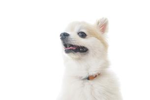 可愛い室内犬の写真素材 [FYI04723700]